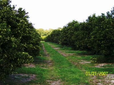 Umatilla, Florida: Local Citrus Grove